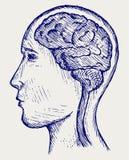 Human brain and head Stock Photo
