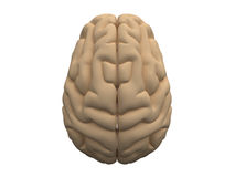 Human brain hemispheres Royalty Free Stock Photo