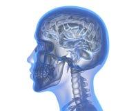 Human brain. Over white background. 3D illustration stock illustration