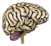 Human brain illustration Stock Photography