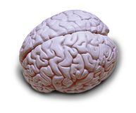 Human Brain Isolated. On white royalty free stock images