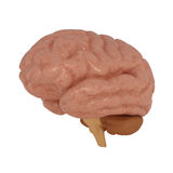 Human Brain isolated on white Royalty Free Stock Photography