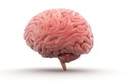 Human Brain. Isolated on white background Stock Photo