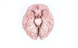 Human brain isolated on white Stock Photos