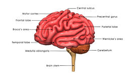 Human Brain labelled. The human brain has the same general structure as the brains of other mammals, but has a more developed cerebral cortex than any other royalty free illustration
