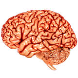 Human brain lateral view stock illustration