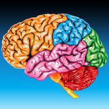 Human brain lateral view Royalty Free Stock Image