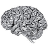 Human brain lateral view. Illustration body part vector, human brain lateral view Royalty Free Stock Photography