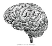 Human brain lateral view hand drawing vintage engraving illustration vector illustration