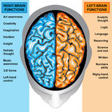 Human brain left and right functions. Ilustration body part,human brain left and right functions Royalty Free Stock Photos