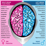 Human brain left and right functions. Ilustration body part,human brain left and right functions, yin and yang, feminine and masculine Royalty Free Stock Photography