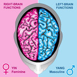 Human brain left and right functions. Ilustration  body part,human brain left and right functions, yin and yang, feminine and masculine Stock Photo