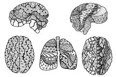 Human Brain and  lungs Royalty Free Stock Image