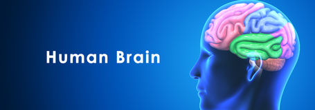 Human Brain Royalty Free Stock Photos