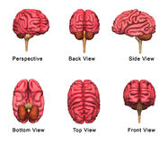 Human Brain. The human brain is the main organ of the human nervous system. It is located in the head, protected by the skull. It has the same general structure vector illustration