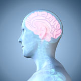 Human Brain. The human brain is the main organ of the human nervous system. It is located in the head, protected by the skull. It has the same general structure Royalty Free Stock Image