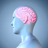 Human Brain. The human brain is the main organ of the human nervous system. It is located in the head, protected by the skull. It has the same general structure Stock Photography