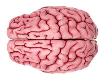 The human brain Royalty Free Stock Photography