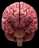 The human brain Royalty Free Stock Image