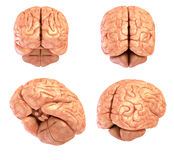 Human brain model, isolated Stock Photography