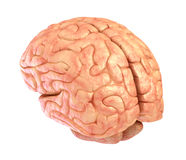 Human brain model, isolated Stock Photos