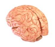 Human brain model, isolated. On white Stock Photos