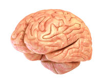 Human brain model, isolated Royalty Free Stock Image