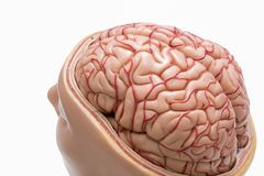 Human brain model isolated on the white background. Close-up view of human brain model isolated on the white background royalty free stock images
