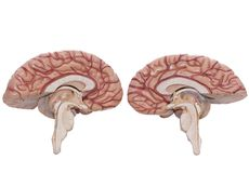 Human brain model isolated on the white background. Inside view of human brain model isolated on the white background with clipping path royalty free stock image