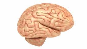 Human brain model, rotation loop stock video footage