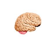 Human brain model stock images