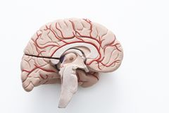 Human brain model on the white background. Inside view of human brain model in a half on the white background stock images