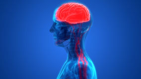 Human Brain with Nervous system Anatomy. 3D Illustration of Human Brain with Nervous system Anatomy Stock Photography