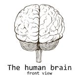 Human brain painted on a white background royalty free stock image