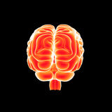 Human Brain posterior view. The human brain has the same general structure as the brains of other mammals, but has a more developed cortex than any other. The stock illustration