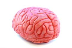 Human Brain Prop. Closeup view of a fake prop brain isolated on white royalty free stock images