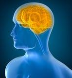 Human brain x-ray view Royalty Free Stock Photography