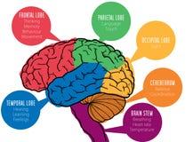Human brain's functions Stock Image