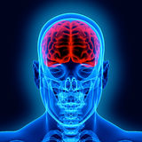 Human brain and scull. In x-ray Stock Photography