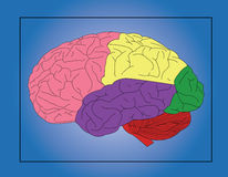 Human brain. The sections of human brain Royalty Free Stock Photos