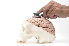 Human brain , skull model and doctor`s stethoscope on white back. Concept of doctor's stethoscope examining human brain and skull model on white stock images