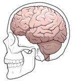 Human brain and skull Stock Image