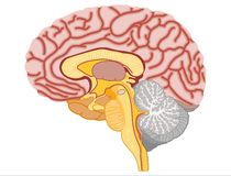 Human Brain - Stock Illustration Stock Photo