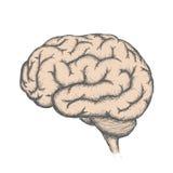 Human brain. Stock illustration. Stock Images