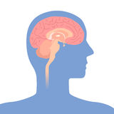 Human brain structure, image illustration Stock Photos