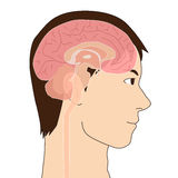 Human brain structure, image illustration Royalty Free Stock Photo