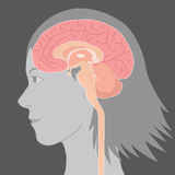 Human brain structure, image illustration Royalty Free Stock Images