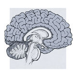 Human brain structures sagitall view Stock Image