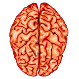 Human brain top view Royalty Free Stock Photos