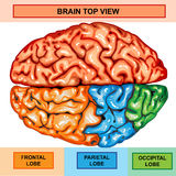 Human brain top view. Illustration body part, human brain top view Royalty Free Stock Image